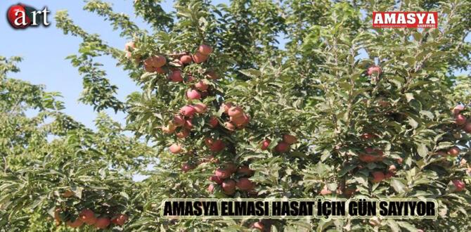 Amasya Elması Hasat İçin Gün Sayıyor