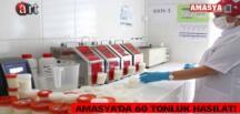 AMASYA'DA 60 TONLUK HASILAT!