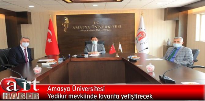 Amasya Üniversitesi Yedikır mevkiinde lavanta yetiştirecek