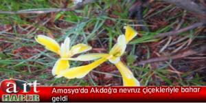 Amasya'da Akdağ'a nevruz çiçekleriyle bahar geldi