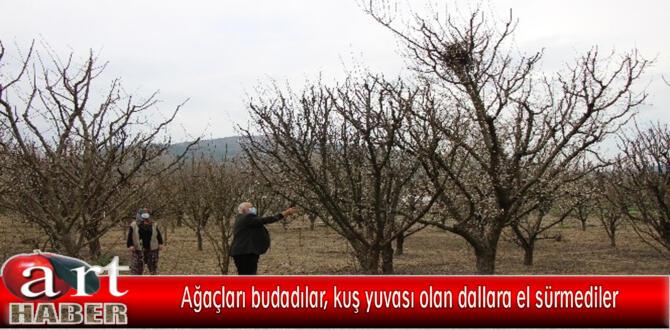 Ağaçları budadılar, kuş yuvası olan dallara el sürmediler